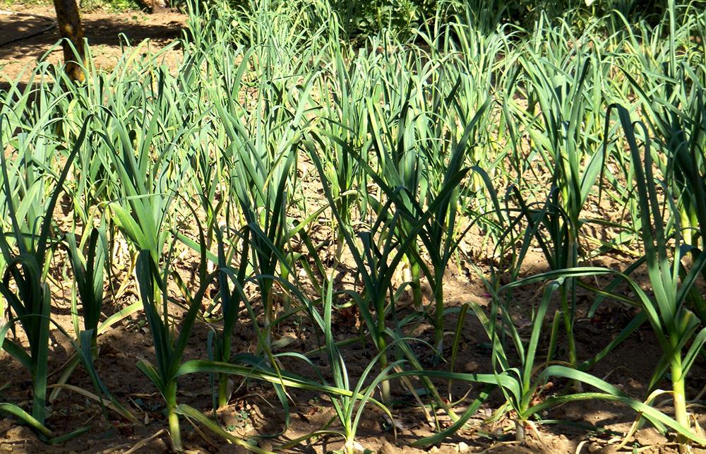 Plantación de ajos