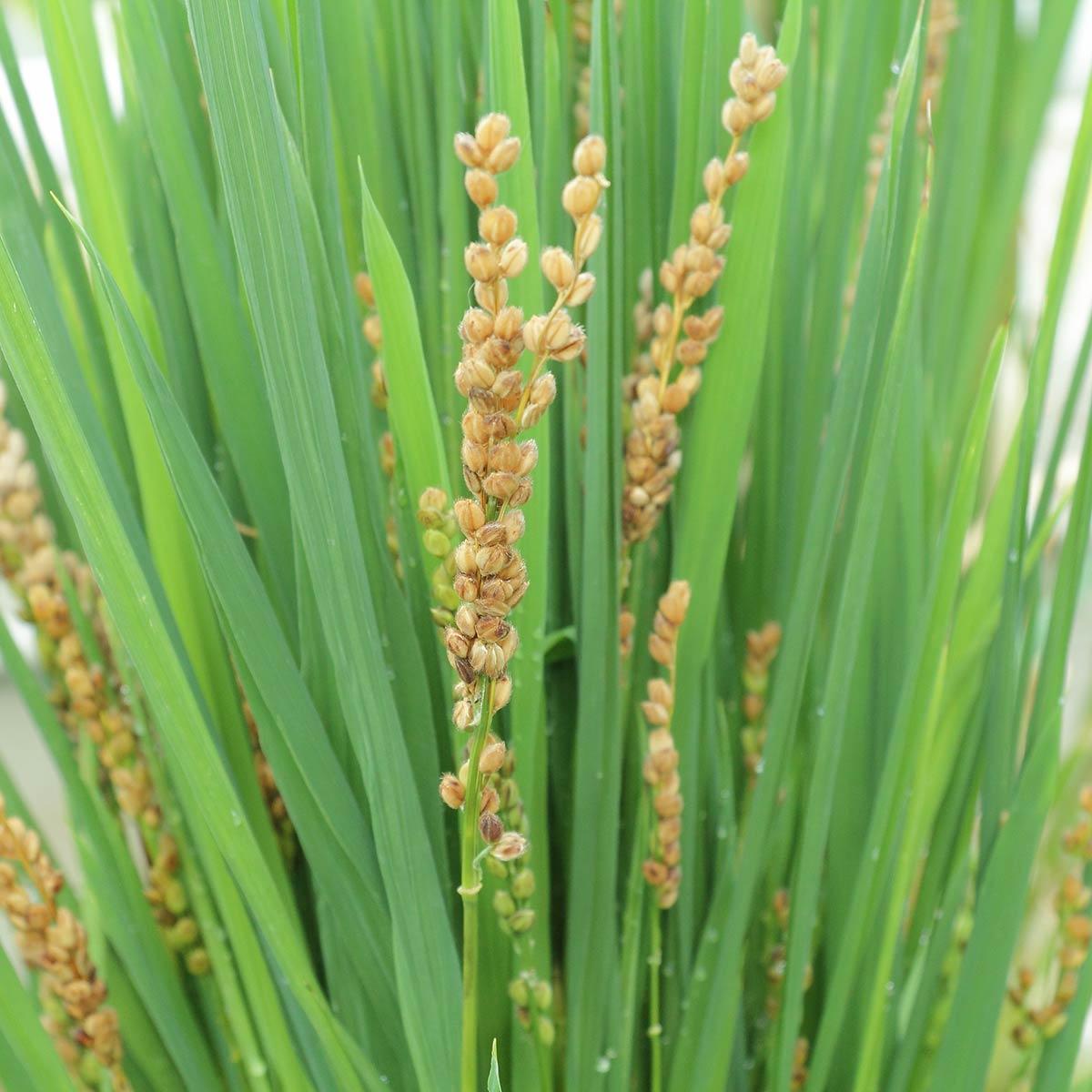 Semillas de arroz maduro