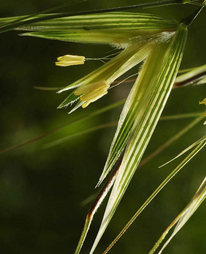 Flores de avena, planta cereales