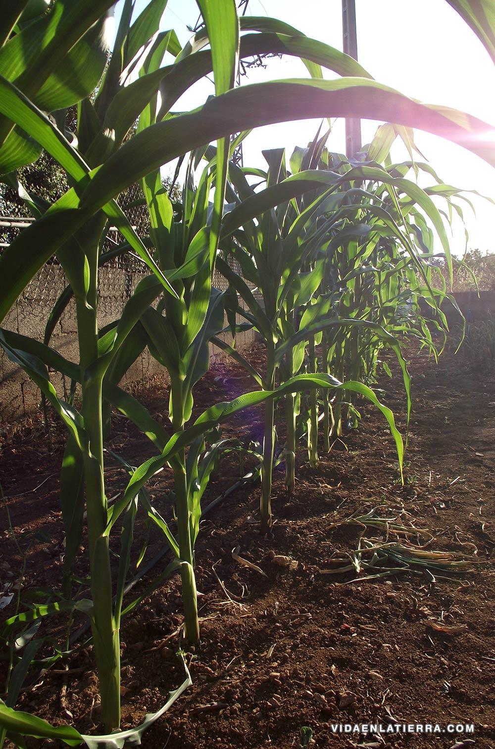 Cultivo ecológico del maíz