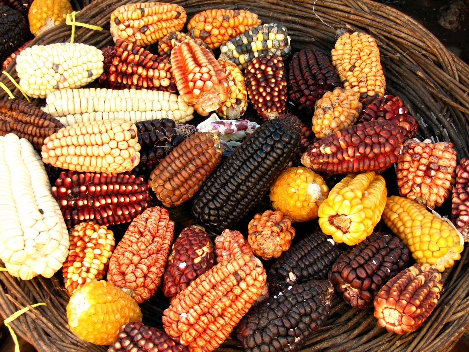 Variedades de maíz
