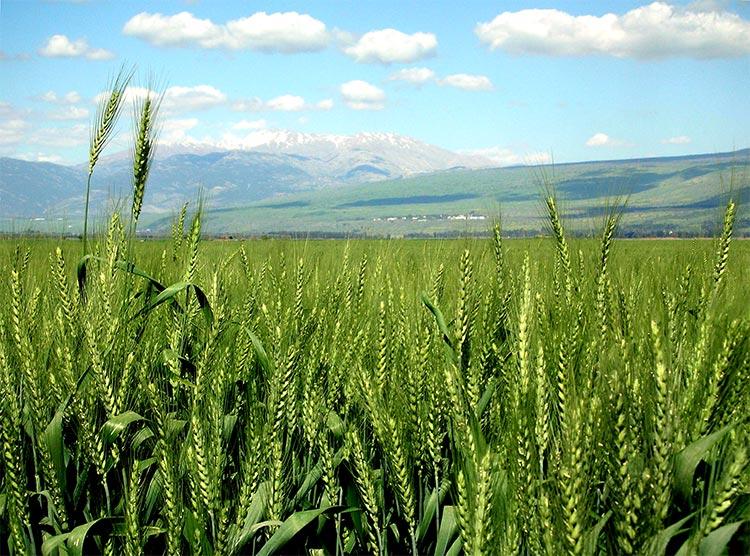 Campo de trigo madurando