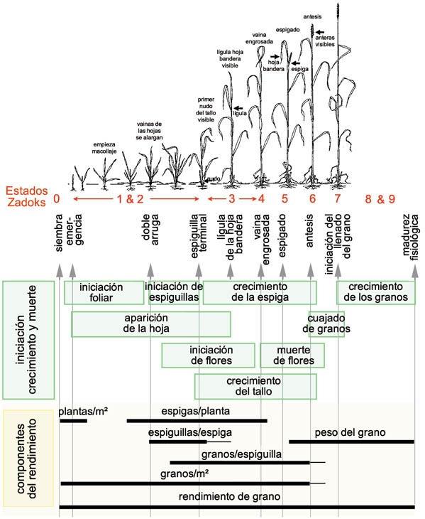 El cultivo del trigo