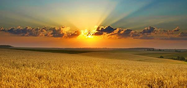 Campo de trigo o Triticum