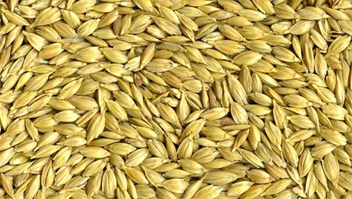 Espiguillas del trigo